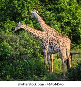 Two giraffe moving through bush to find leaves to eat