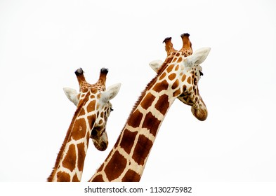 Two giraffe necks and heads from the rear