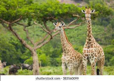 Two Giraffes Close with an acacia tree in the background by the mountains