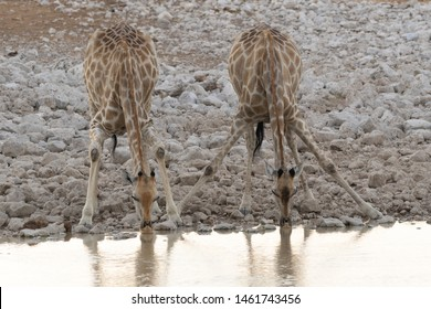 Two giraffes drink with different techniques simultaneously side by side at dusk at a waterhole in Etosha National Park in Namibia. Their faces are reflected in the water.