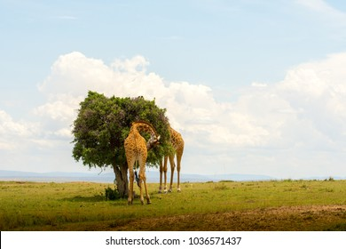Two giraffes feeding at a tree in Masai Marai Game Reserve, Kenya