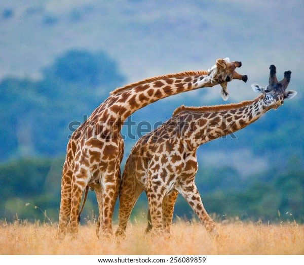 Two giraffes fighting each other in Kenya, in the Masai Mara National Park. This is the part of a dance of two giraffes.