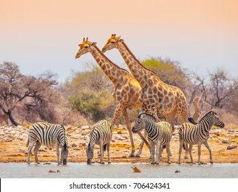Two giraffes and four zebras at waterhole in Etosha National Park, Namibia