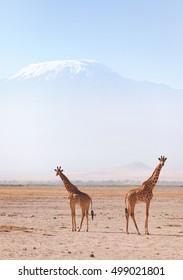Two giraffes in front of Kilimanjaro at the background shot at Amboseli national park, Kenya. Horizontal shot