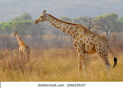 Two giraffes (Giraffa) in Waterberg Plateau Park a national park in central Namibia.