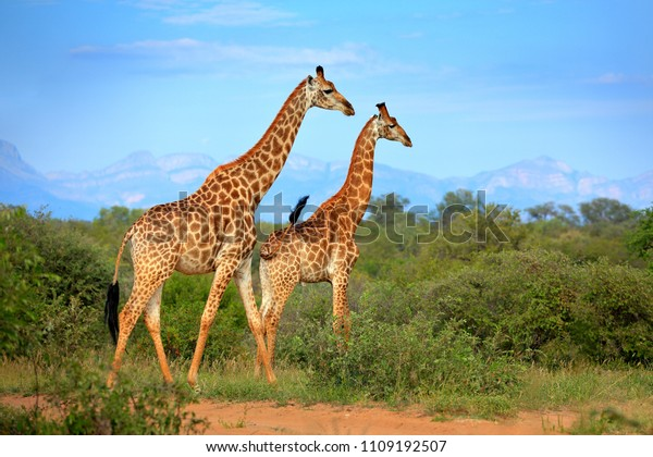Two giraffes near the forest, Drakensberg Mountains in the background . Green vegetation with big animals. Wildlife scene from nature. Evening light Tshukudu, South Africa.