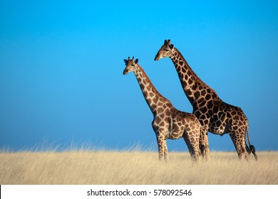 Two giraffes on the plains of Etosha National Park, Namibia.