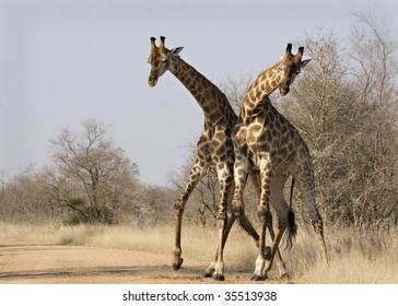 Two giraffes pushing each other in Kruger National Park South Africa