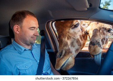 Two giraffes put heads in car and waiting food from tourist