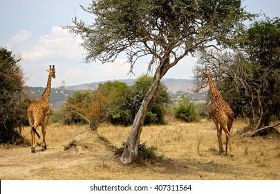Two giraffes roaming around the Akagera national park in Rwanda.