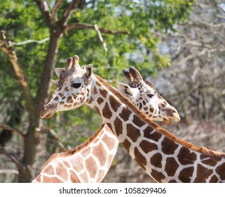 two giraffes in the sunshine