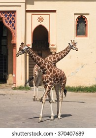 Two giraffes with their necks crossed in perspective