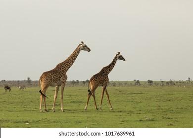 two giraffes walking across the grasslands of the Maasai Mara, Kenya