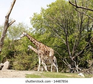 Two giraffes walking together