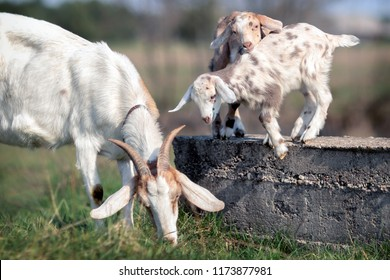 Two goat kids play on a concrete block, and their mom eats grass near