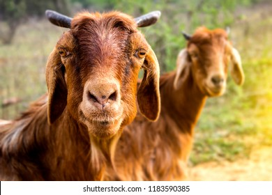 Two Goat looking at camera