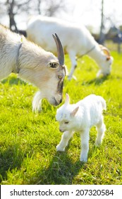 two goats and baby goat in pasture