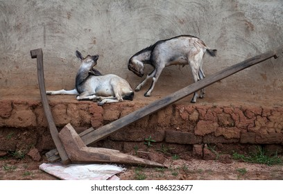 Two goats behind a plow in a village in Jharkand, India