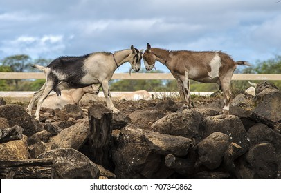 Two goats facing each other
