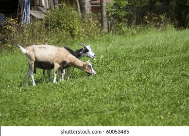Two goats feeding on green grass