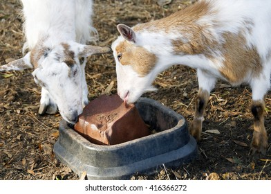 Two goats licking a mineral block together at a farm.