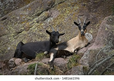 Two goats rest in the grass of the pasture