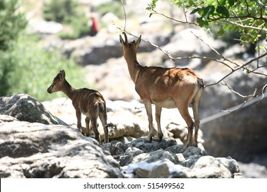 Two goats in samaria gorge on crete