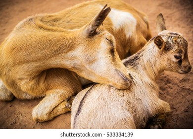 Two goats in a village, which lying directly beside the Mole National Park.