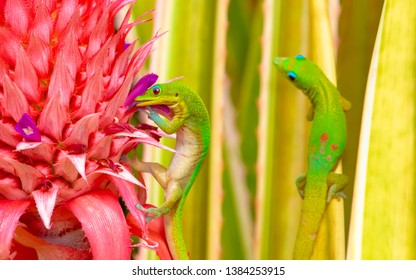 two gold dust day geckos ( Phelsuma Laticauda ) in Hawaii - one licking the insides of a pineapple flower, and the other, hugging a Bromeliad plant leaf, and  looking quite envious of his buddy