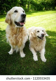 two gold retriever dogs