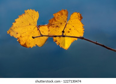 Two Golden Autumn Colored Vineyard Grape Leaves Isolated