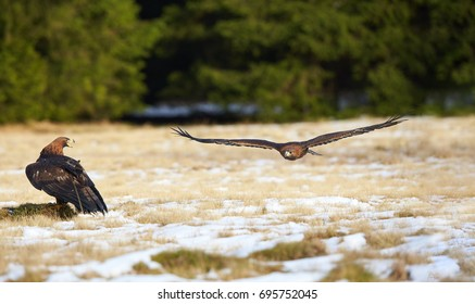 Two Golden Eagle, Aquila chrysaetos, big bird of prey in winter, one standing on snowy meadow, watching the second flying over it. Dark spruce forest background. Low angle action photo.