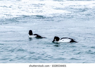two golden eye ducks swimming in icy waters