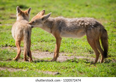 Two Golden Jackals grooming on the Serengeti plains.