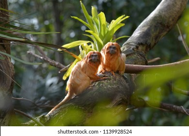 Two Golden Lion Tamarin Primate looking at the camera. Native to the Atlantic coastal forests of Brazil, the golden lion tamarin is an endangered species