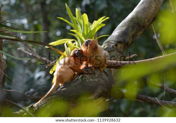 Two Golden Lion Tamarin Primate sitting on a tree in a rain forest. Native to the Atlantic coastal forests of Brazil, the golden lion tamarin is an endangered species
