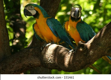 Two Golden Macaw's...