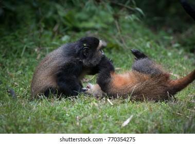 Two golden monkeys playing in Volcanoes National Park, Rwanda