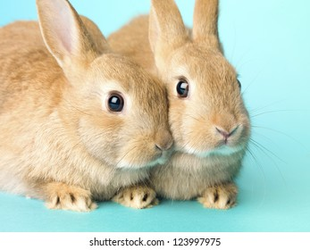 Two golden rabbits sitting together over turquoise background.