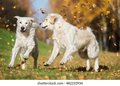 two golden retriever dogs playing with falling leaves