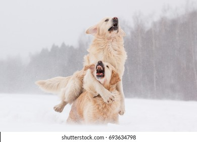 Two Golden retriever dogs playing outdoor in winter blizzard snowstorm