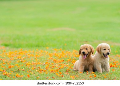 Two golden retriever puppies sit in the garden with the fallen yellow flowers background