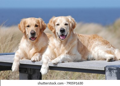 Two Golden Retrievers lying on a wooden bench at the beach, blue sea and dune grass background.
