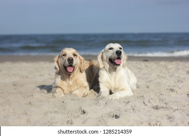Two golden retrievers on the beach