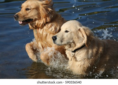 Two Golden Retrievers playing in a pond near Walthamstow, London