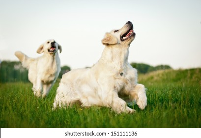 Two golden retrievers playing in the yard