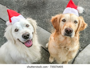Two Golden Retrievers with santa hats on.