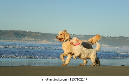 Two Goldendoodle dogs outdoor portrait running on ocean beach