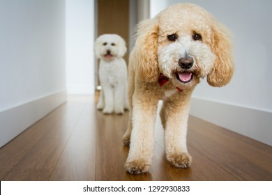 Two goldendoodle dogs walk down a white hallway looking toward the viewer.