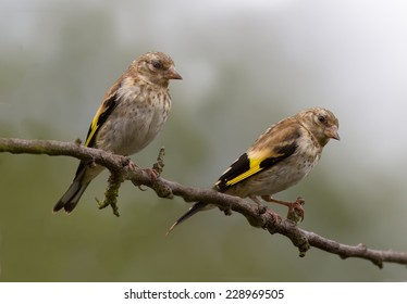 Two Goldfinch perched on a tree.